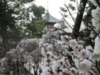 成田山公園(梅)