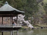 成田山公園(桜)